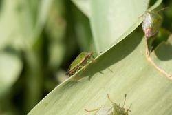 Common green shieldbug, shield bug, Palomena prasina or stink bug sitting on a green leaf in the spring sunshine, side view