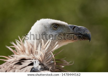 Common griffon vulture (Gyps fulvus) isolated on green natural background. Close-up profile of a majestic bird of prey with large beak and bald head.  Foto stock ©