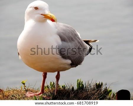Common Gull #681708919