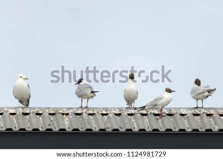 Common gull and Black-headed gulls on roof. #1124981729