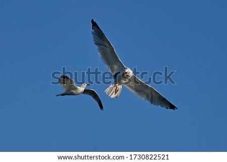 Common gull (Larus canus) and European herring gull (Larus argentatus) fighting in mid-air