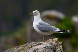 Common Gull - Larus canus, beautiful common gull from north European sea and ocean coasts, Runde, Norway.