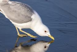 Common gull, mew gull, or sea mew
