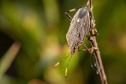 Common Gum Tree Shield Bug also known as Poecilometis patruelis.