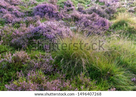 Common heather, crow heather and grasses - Drenthe, The Netherlands. #1496407268