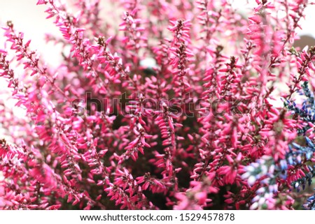 Common Heather. Pink heather flowers #1529457878
