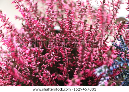 Common Heather. Pink heather flowers #1529457881