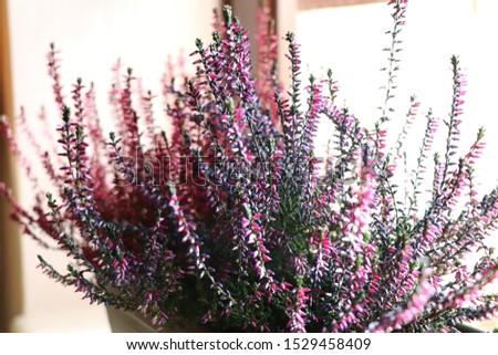 Common Heather. Purple heather flowers #1529458409