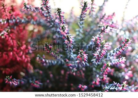 Common Heather. Purple heather flowers #1529458412