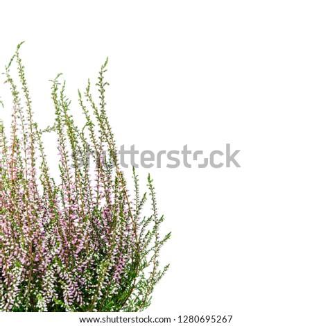 Common Heather. Purple heather flowers on bright background. Calluna vulgaris. #1280695267