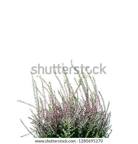 Common Heather. Purple heather flowers on bright background. Calluna vulgaris. #1280695270