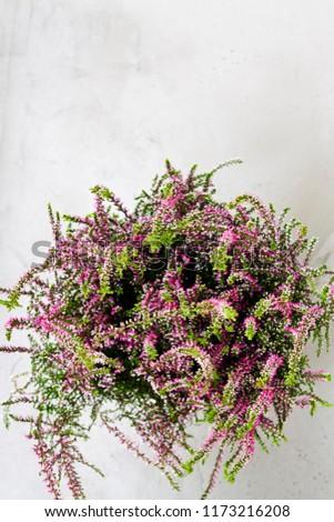 Common Heather. Purple heather flowers on grey background. Calluna vulgaris. #1173216208