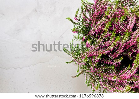 Common Heather. Purple heather flowers on grey background. Calluna vulgaris. #1176596878