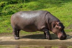 Common Hippopotamus or Hippopotamus amphibius