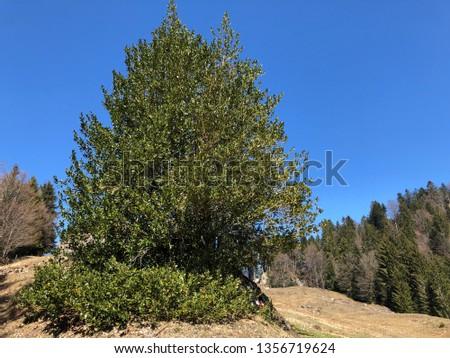 Common holly, English holly, European holly, or occasionally Christmas holly (Ilex aquifolium), Die Europäische Stechpalme, Gewöhnliche Stechpalme oder Hülse