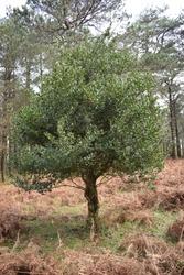 Common holly (Ilex aquifolium) tree