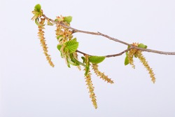 Common hornbeam (Carpinus betulus) catkins isolated on white background. (Oriental hornbeam), Male flowers of the hornbeam