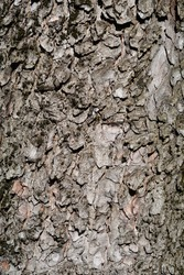 Common horse chestnut bark detail - Latin name - Aesculus hippocastanum