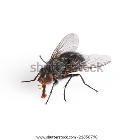 Common house fly (Musca Domestica) macro isolated on white background.