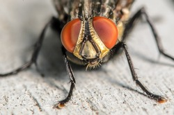 Common house fly portrait