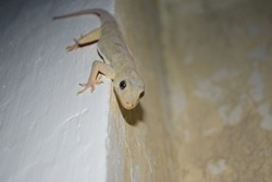 Common House Lizard On Wall, Close Up Animal Reptile Dragon