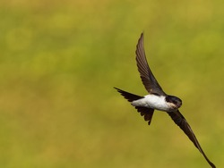 Common House-Martin - Delichon urbicum black and white flying bird eating and hunting insects, also called northern house martin, swallow family, breeds in Europe, north Africa and the Palearct.