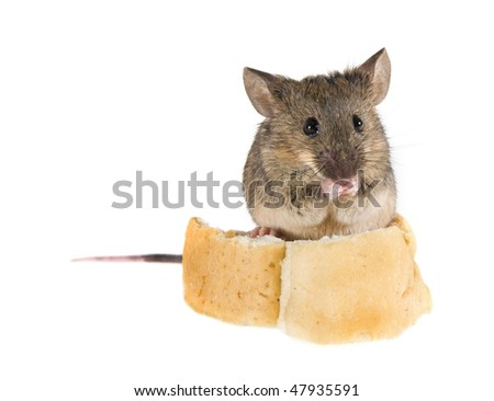 Common house mouse (Mus musculus) sniffs, standing on a crust of bread