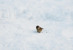 Common house sparrow sitting alone on the snow on a freezing winters day, eating bird seeds.