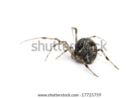 Common house spider - Achaearanea tepidariorum in front of a white background