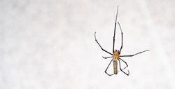 common house with big spider on a wooden door in a kitchen in a residential home.animal background.The spider climbs on the web at home.spider web.