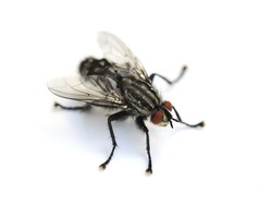 Common housefly Musca domestica isolated on white background