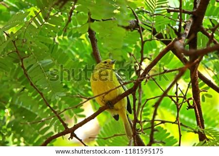 Common Iora on branch #1181595175