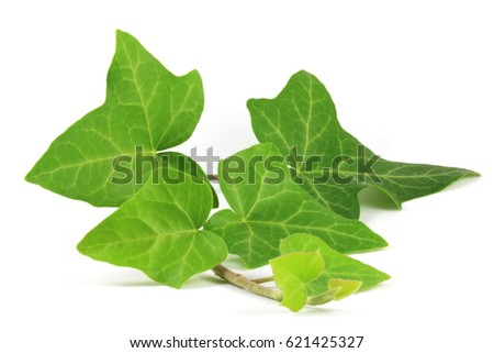 Common ivy (Hedera helix) plant. Ivy leaf (Hederae helicis folium) is considered effective in improving cough symptoms in adults with long-term bronchitis and to treat cellulite, with some success.