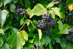 Common ivy with poisonous berries, Hedera Helix