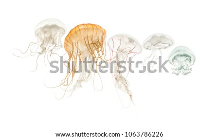 Common jellyfish, Aurelia aurita, Cannonball jellyfish, Stomolophus meleagris, Purple-striped jellyfish, Chrysaora colorata and Disc jellyfish, Sanderia malayensis, against white background #1063786226