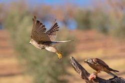 Common kestrel, European kestrel, Eurasian kestrel, or Old World kestrel (Falco tinnunculus) Malaga, Spain