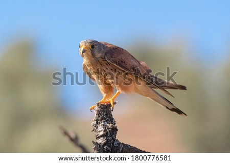 Common kestrel, European kestrel, Eurasian kestrel, or Old World kestrel (Falco tinnunculus) Malaga, Spain Stock fotó ©