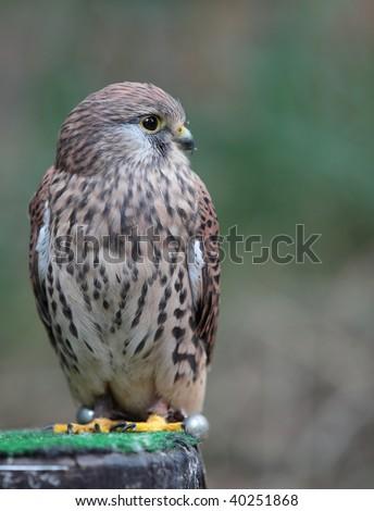 Common Kestrel - Falco tinnunculus - close-up view of this beautiful bird - stock photo