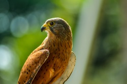 Common Kestrel (Falco tinnunculus) is a bird of prey , isolated portrait in Africa in wild and bokeh in background