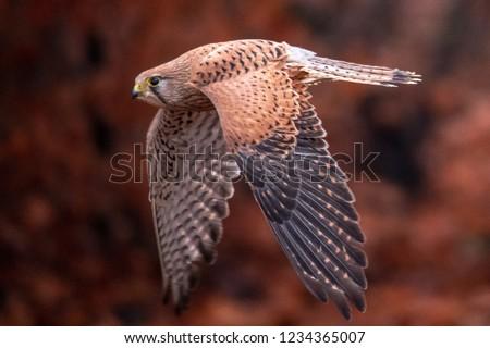 Common kestrel (Falco tinnunculus) is a bird of prey species belonging to the kestrel group of the falcon family Falconidae. Also known as the European kestrel, Eurasian kestrel. Stock fotó ©