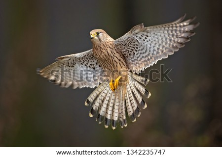 Common kestrel (Falco tinnunculus) is a bird of prey species belonging to the kestrel group of the falcon family Falconidae.  Stock fotó ©