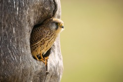 Common kestrel, falco tinnunculus, sitting in nest in springtime nature. Female bird of prey looking from hole in wooden trunk. Striped feathered animal peeking out of the tree.