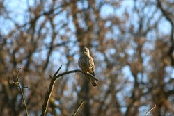 Common kestrel (Falco tinnunculus) sitting on dead tree branch with spider web