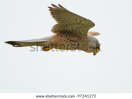 Common Kestrel fyling in the sky