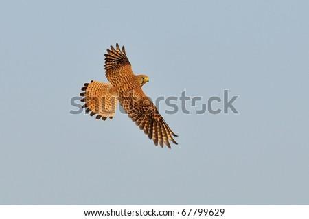 Common Kestrel in flight (falco tinnunculus)