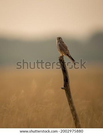Common kestrel or european kestrel or Falco tinnunculus portrait perched on branch during winter migration at tal chhapar sanctuary churu rajasthan india Stock fotó ©