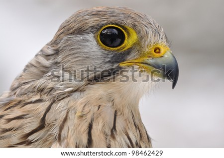 Common Kestrel portrait