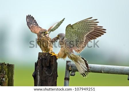 Common Kestrel prey transfer.