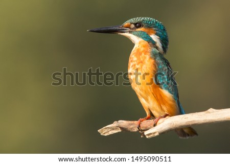 Common Kingfisher (Alcedo atthis) european kingfisher bird close up photo with natural background