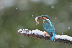 Common kingfisher ( alcedo atthis ) sitting on the branch with catch in the natural winter and snowy enviroment